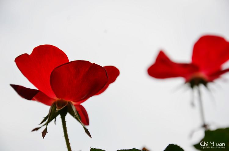 2012士林官邸玫瑰季32.jpg
