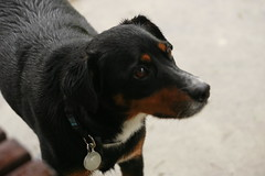 dog breed, animal, dog, appenzeller sennenhund, pet, mammal, greater swiss mountain dog,