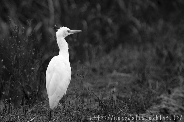 アマサギ [Bubulcus ibis]...