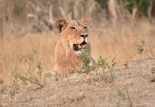 Un giovane maschio di leone in agguato - Hwange National Park (Zimbabwe)