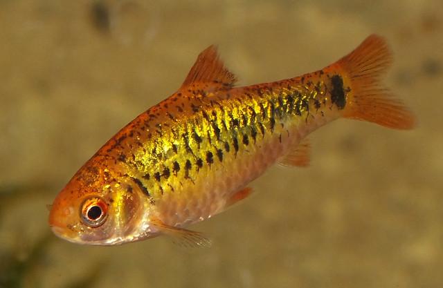 Gold barb puntius semifasciolatus flickr photo sharing for Gold barb fish