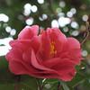 Foto: Camellia 'Debbie'