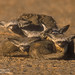 Bat-eared Fox think they are hiding in plain sight CGS110 by WildImages