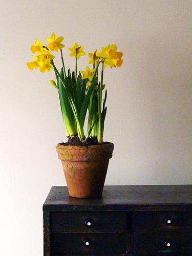 Daffodil Narcissus 'Tête à Tête'