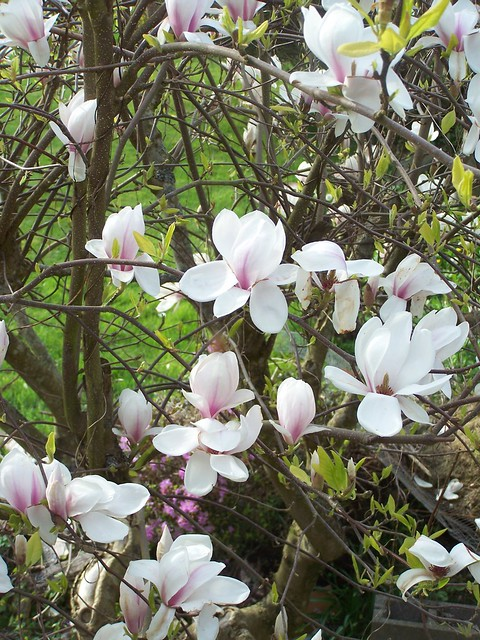 apr 183 Magnolia blossoms