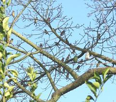 Morey Mansion, Cedar Waxwings in Kapok Tree 03-25-12