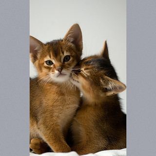 Two Abyssinian Kittens 2