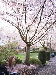 Flowering Cherries & Capitol Ecology 2012