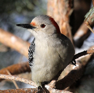 Red Bellied woodpecker.........   (two in comments)
