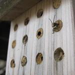 Mason bees emerging