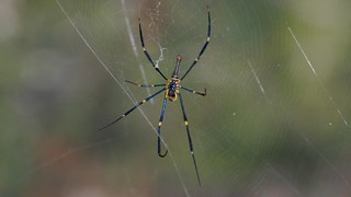 Nephila pilipes Golden Orb-weaver