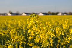 canola, prairie, agriculture, flower, field, yellow, mustard plant, brassica rapa, plant, mustard, crop, meadow, rapeseed, rural area,
