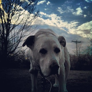 Funky late afternoon shot of Zeus and our cloudy sky #dogstagram #instadog #bigdog #seniordog