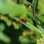 Avenham Park Ladybird