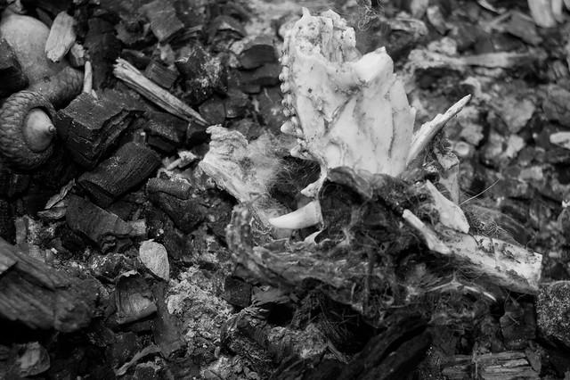 Crushed Opossum Skull ...