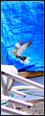 the flying pigeon