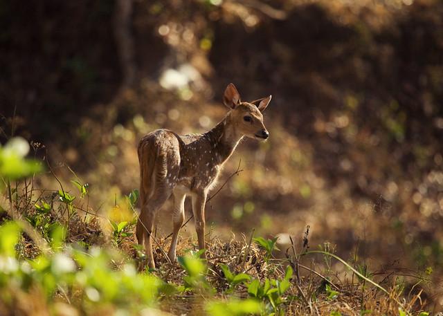 Baby Spotted Deer | Kabini