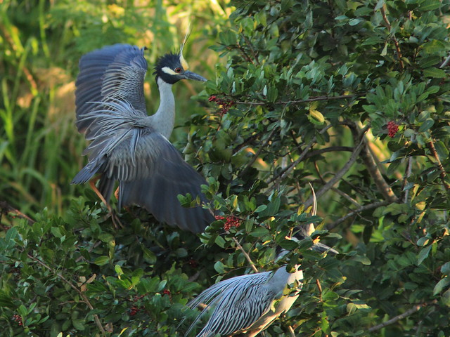 Yellow-crowned Night-Herons 20120229