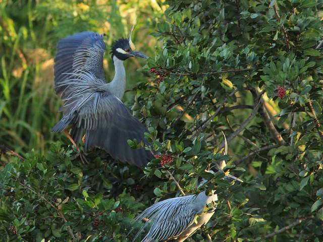 Yellow-crowned Night-Herons 20120229