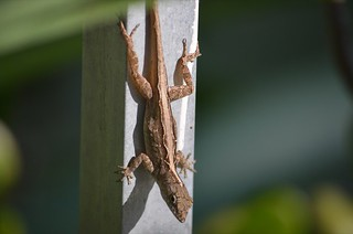 anole