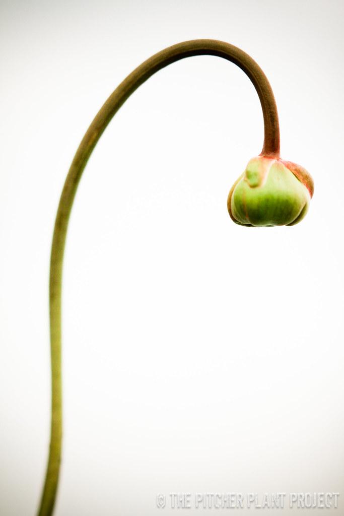 "Sarracenia (flava x willisii-Triffid Park) x leucophylla ""Juju Lips"""