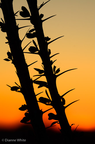 sunset arizona orange silhouette desert tucson ocotillo nikond7000 ©diannewhite