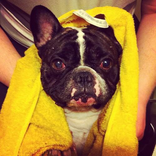 #frenchbulldog #dogs #animals #ilovemydog