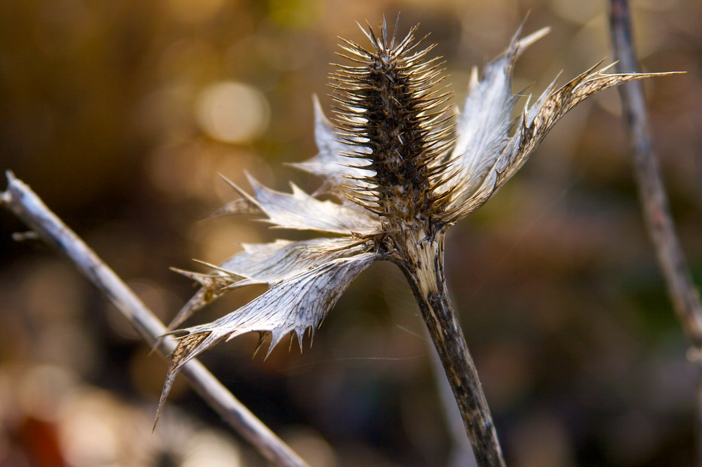 eryngium seed head  1282