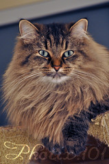 domestic long-haired cat, animal, maine coon, small to medium-sized cats, pet, siberian, cat, carnivoran, whiskers, norwegian forest cat,