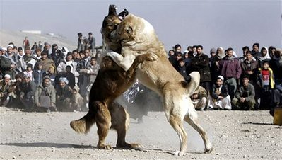 Afghanistan Dog Fight | Dogs battle as Afghan men attend dur ...