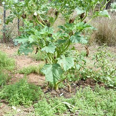 Fierce Thornapple, Datura ferox