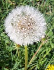 Dandelion Puff: Seeds of Hope!