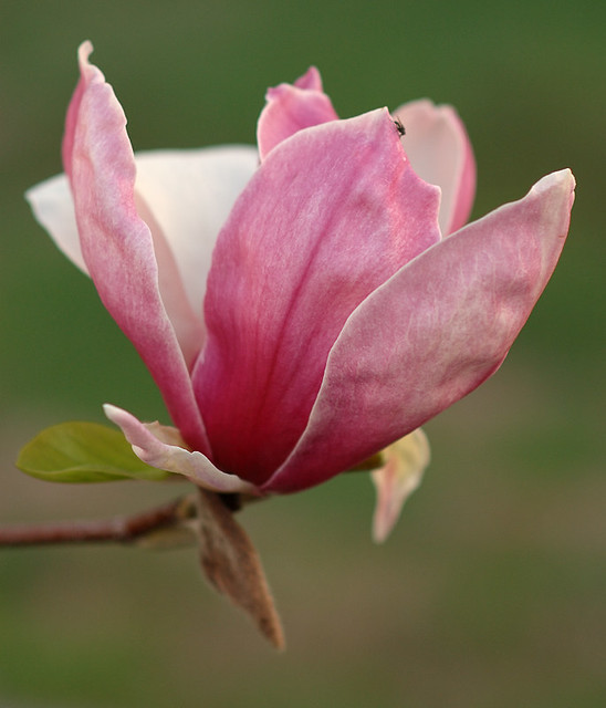 Tower Grove Park, in Saint Louis, Missouri, USA - pink magnolia