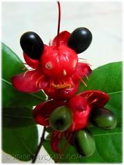 Ochna kirkii, aka Mickey Mouse Plant or Bird's Eye Bush