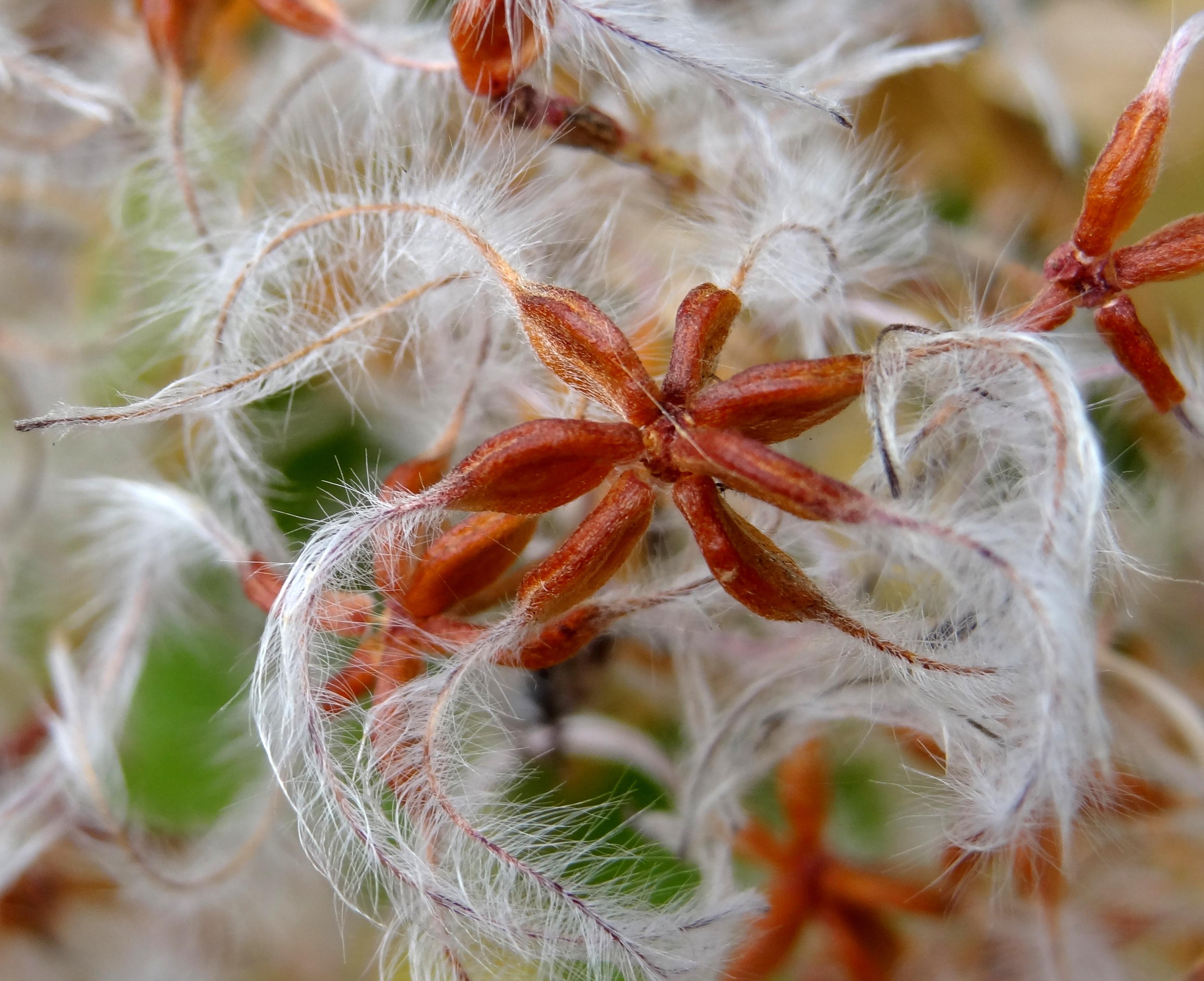 Clematis Terniflora Seeds Clematis Terniflora