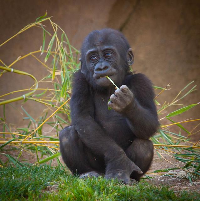Baby male Silverback gorilla   Explore sammibay's photos ... Newborn Silverback Gorilla