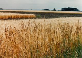 Wheat fields of Montana