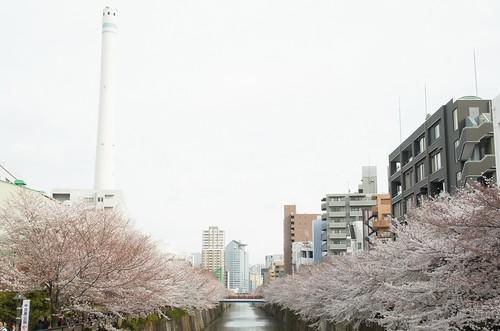 Megurogawa Sakura 10
