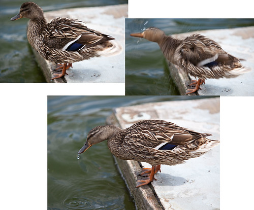 Three moments in a ducks life