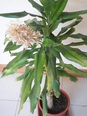 Tronco del Brasil con una flor, se puede apreciar el tamaño de la maceta