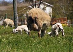 Lactating ewe