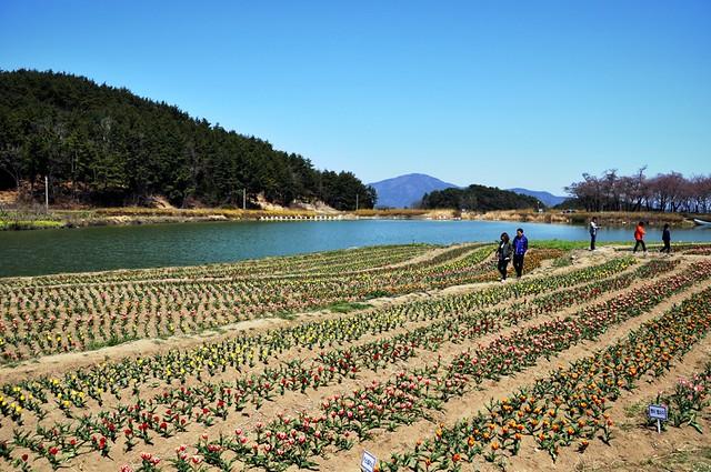 Tulip Field on Namhae-do