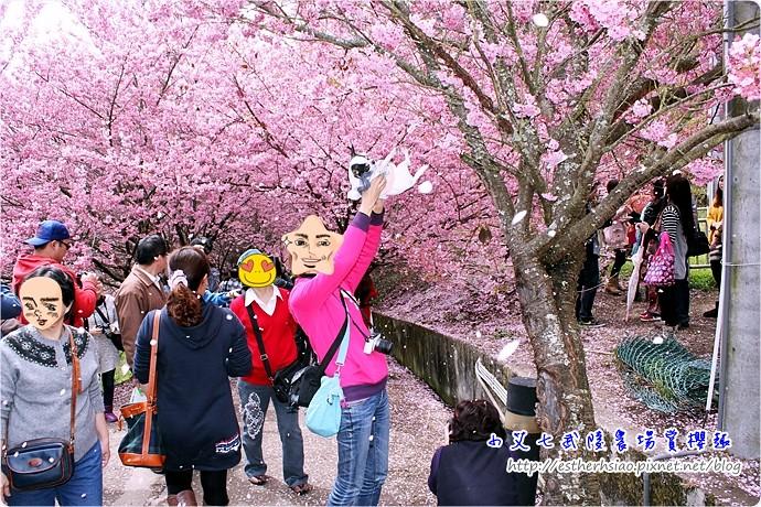 1 櫻花落雨