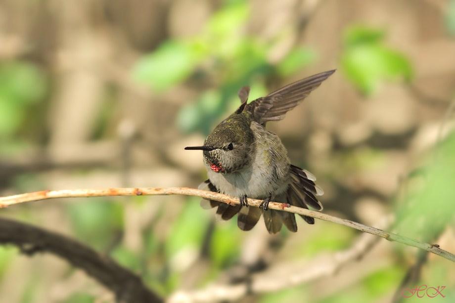 Anna's Hummingibrd 030112-2