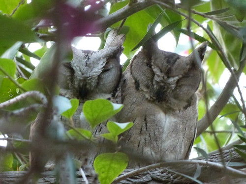 Indian Scops Owl 2 - Bharatpur