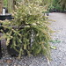 Small photo of Podocarpus nivalis Otari