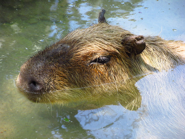 Capybara Swimming Underwater