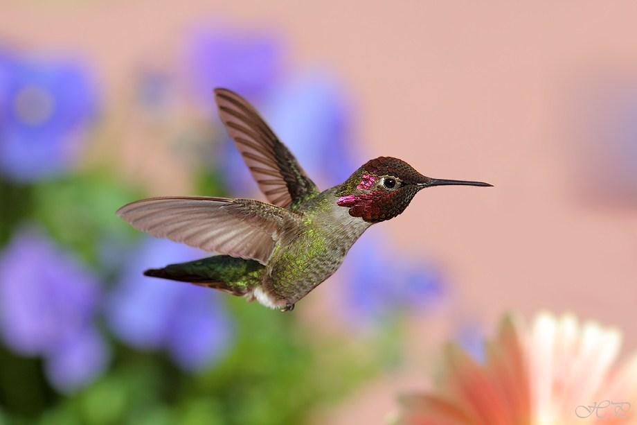 Anna's Hummingbird 030712