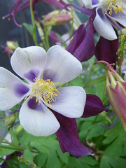 blossom(0.0), flower(1.0), purple(1.0), colorado blue columbine(1.0), plant(1.0), wildflower(1.0), flora(1.0), petal(1.0),