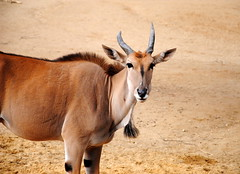 gemsbok(0.0), oryx(0.0), animal(1.0), antelope(1.0), mammal(1.0), horn(1.0), common eland(1.0), fauna(1.0), wildlife(1.0),